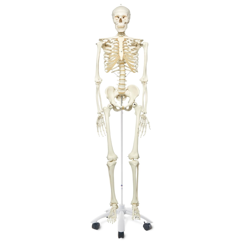 Squelette - avec support