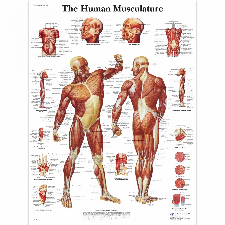 Wandplaat geplastificeerd Human Musculature - 50 x 67 cm