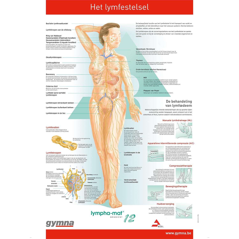 Poster lymphestelsel NL - 60 x 80 cm