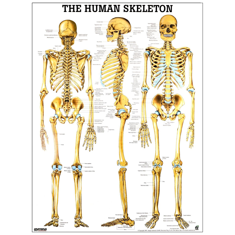 Poster human skeleton - gelamineerd - 50 x 70 cm