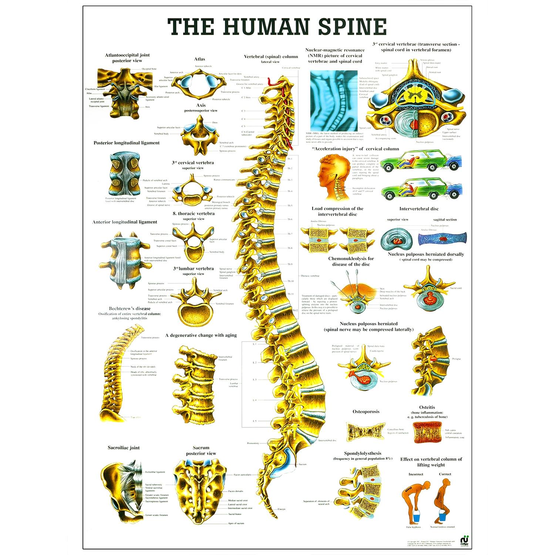Poster human spine - gelamineerd - 70 x 100 cm