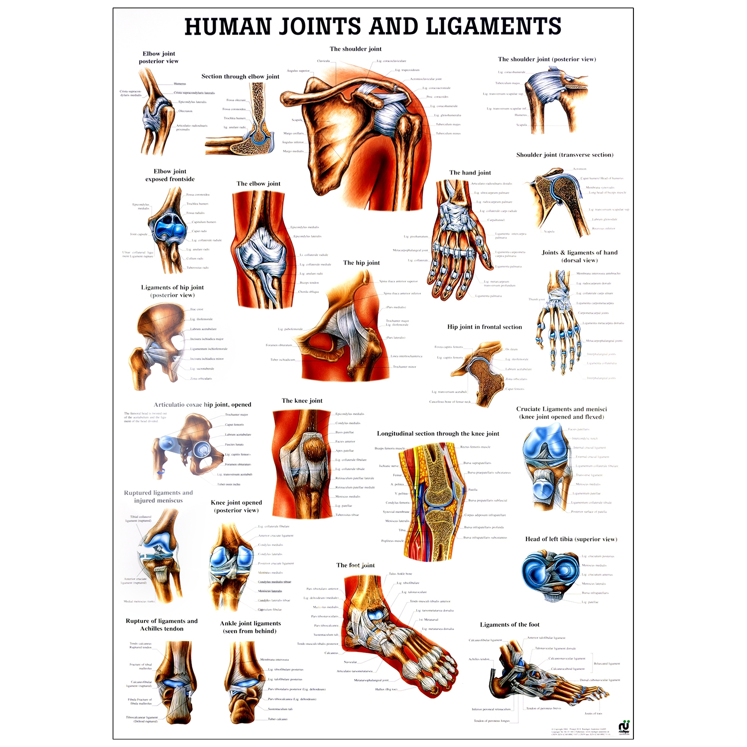 Poster human joints and ligaments - gelamineerd  - 70 x 100 cm