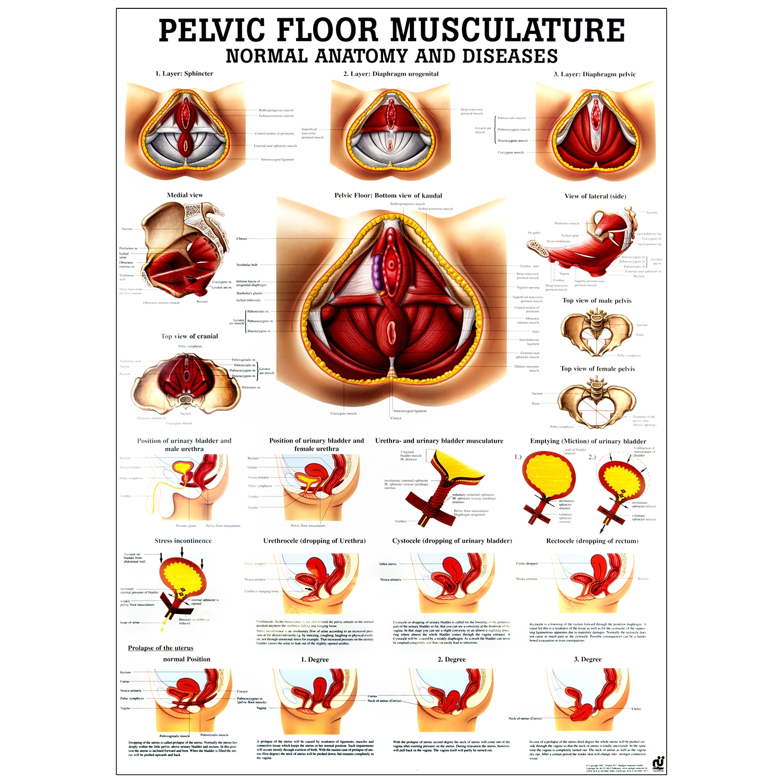 Poster pelvic floor musculature - gelamineerd - 70 x 100 cm